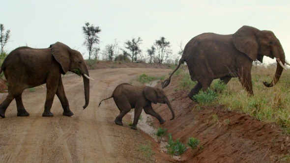 Elephants on a safari in Uganda I @SatuVW I Destination Unknown