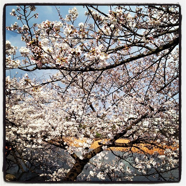 Cherry blossoms in Tokyo. Photo by @chamorro_chica