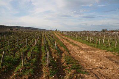 burgundy vinery