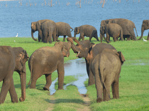 Elephants in Kaudulla National Park, Sri Lanka