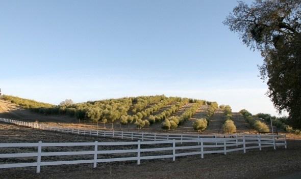 Pasolivo Olive Grove