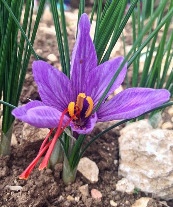 saffron-crocus-flower