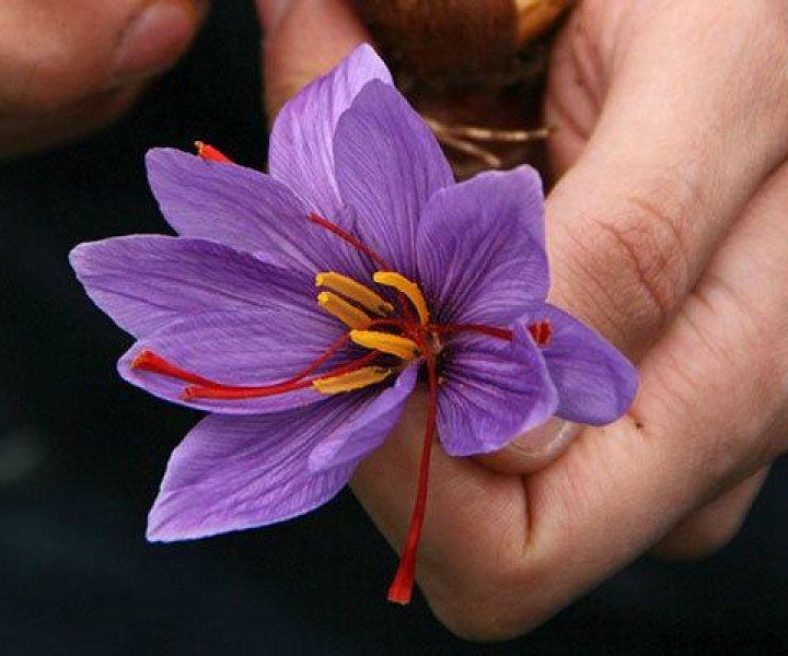 Saffron picking in Italy