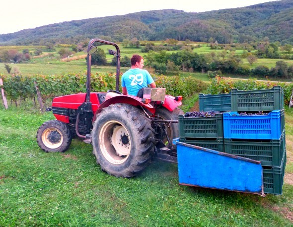 Collecting grapes at a vineyard