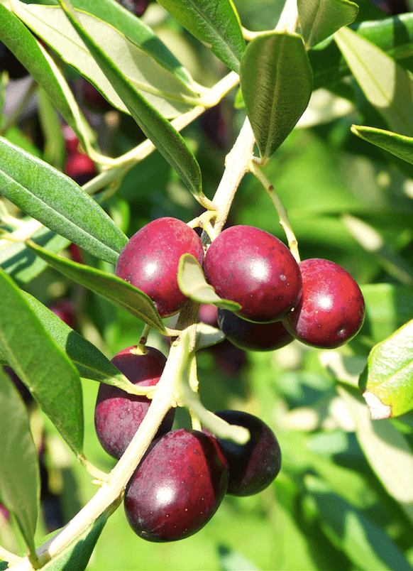 Vanja Dujc Olives