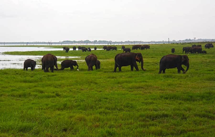 sri-lanka-elephant-gathering