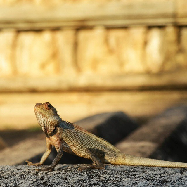 sri lanka lizard in temple