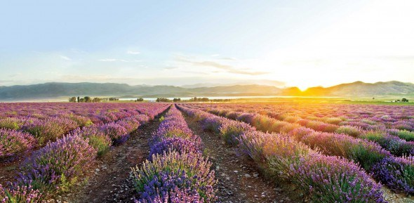 Lavender fields in France. Lavender is one of most popular and versatile essential oil.