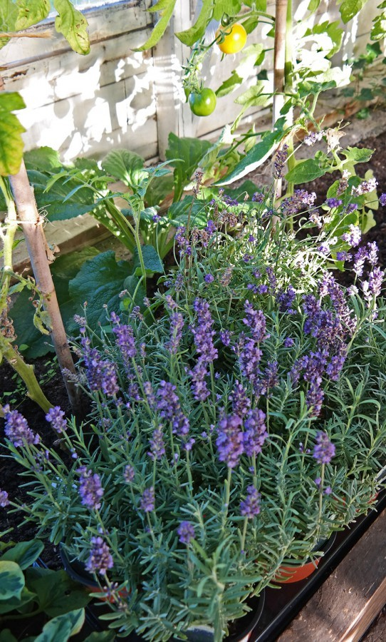 lavender-in-greenhouse