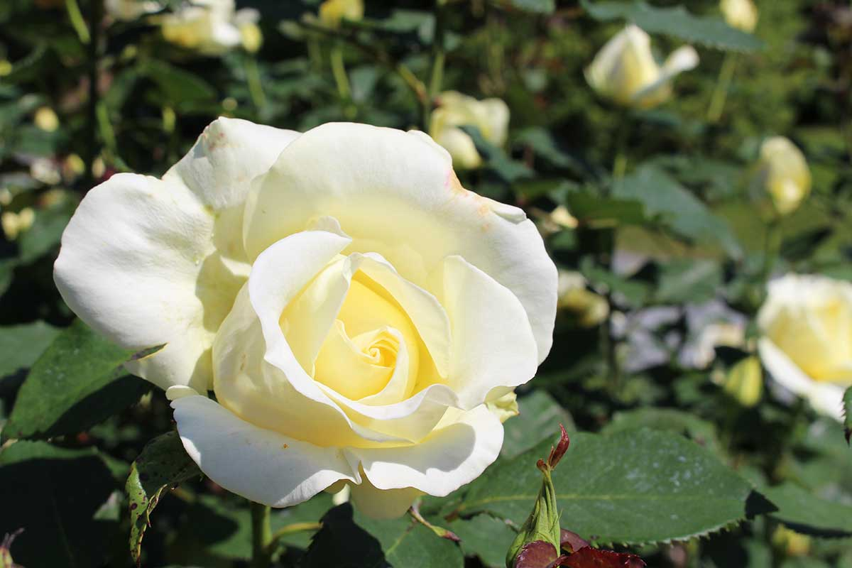 halifax-public-garden-white-rose