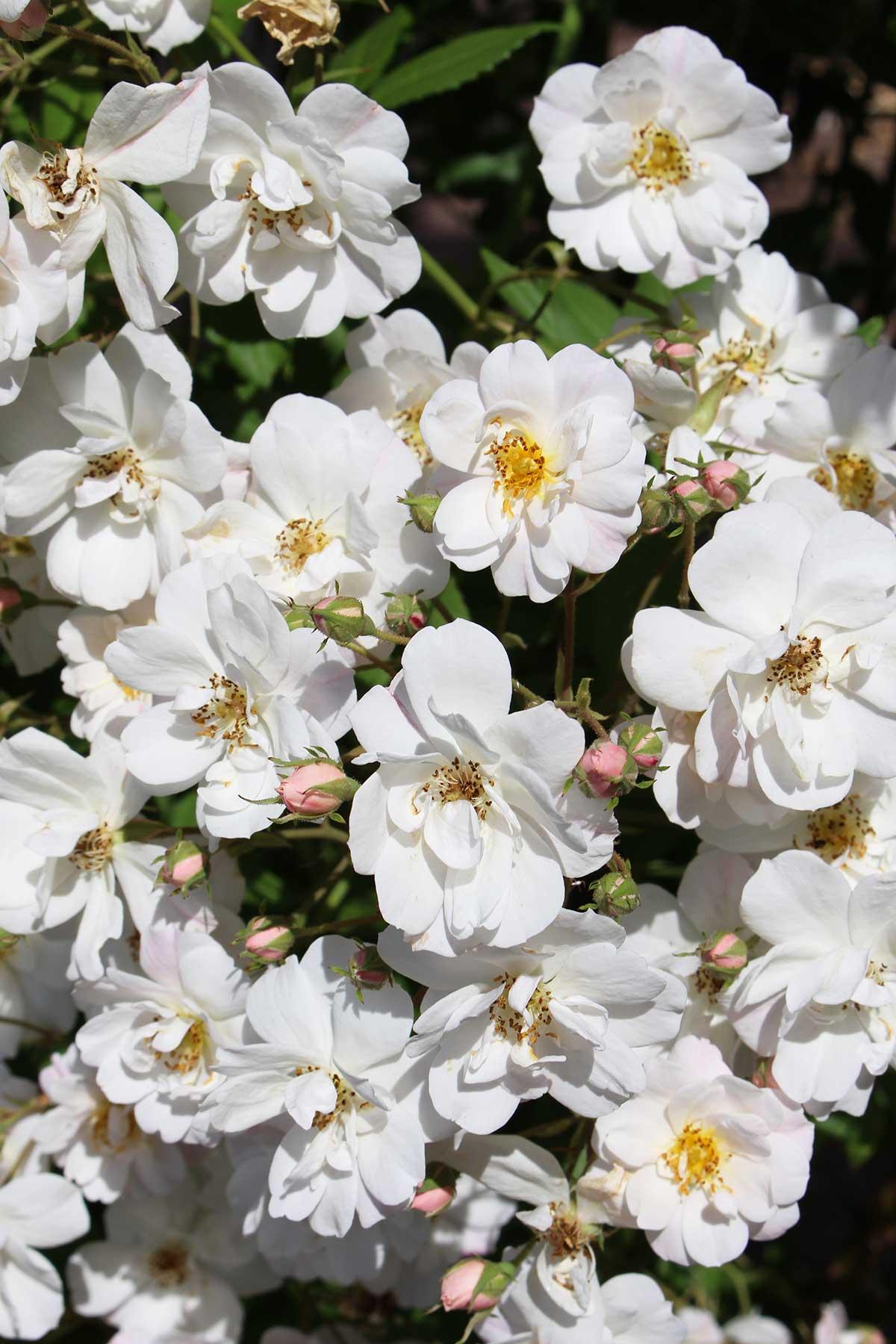 white-roses-sweden